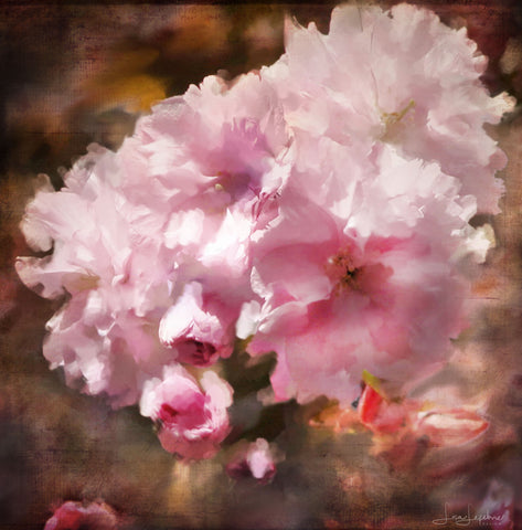 Cherry Blossoms Print - Original Photographic Print