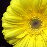 Yellow Daisy Print - Original Photographic Print