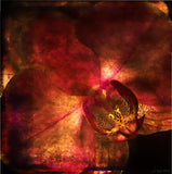 Fire Orchid Print - Original Photographic Print