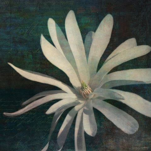 Star Magnolia Print - Original Photographic Print