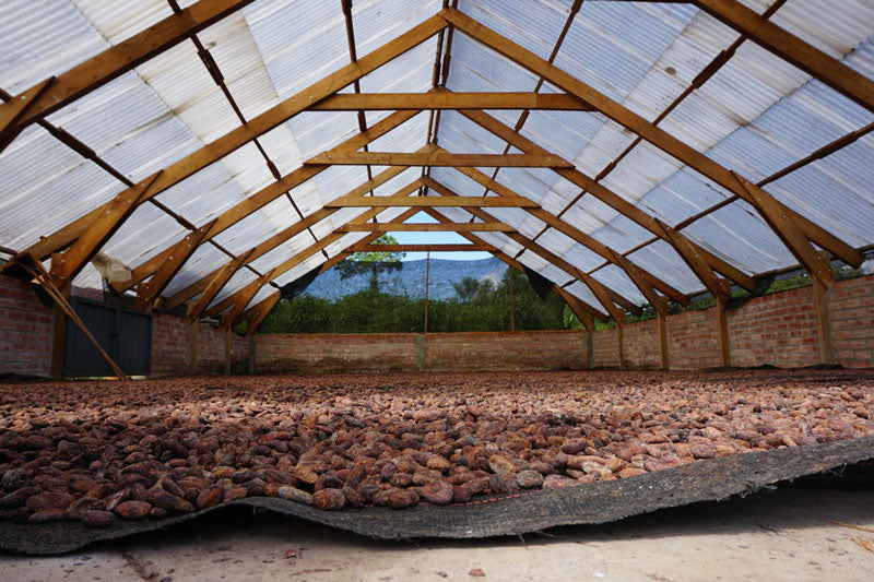 Cocoa beans drying at APANS in Peru