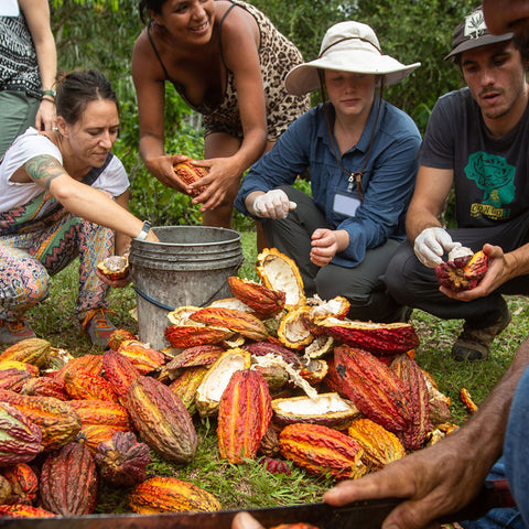 A group sorts through cacao pods