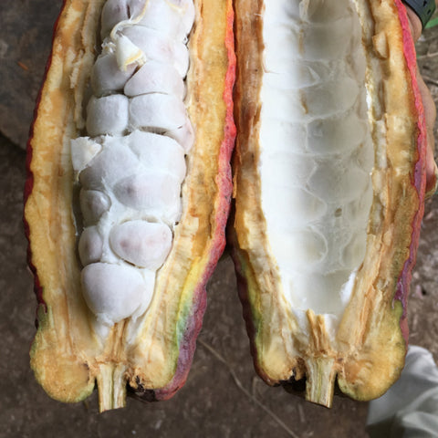 a split cacao pod revealing what's inside and where the cacao beans are found