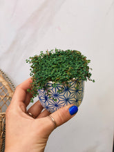 Load image into Gallery viewer, Mini Indigo Pilea - VintageChameleon