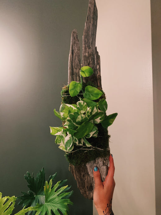 NOW VIRTUAL Mounted Driftwood Planters 3/22@ The Plant Shack - VintageChameleon
