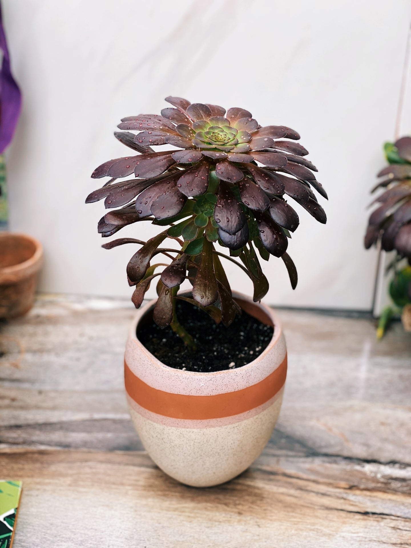 Purple Succulent in Bethany Pot - VintageChameleon