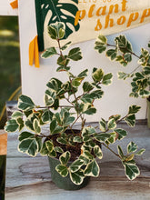 Load image into Gallery viewer, Variegated Ficus Triangularis - VintageChameleon