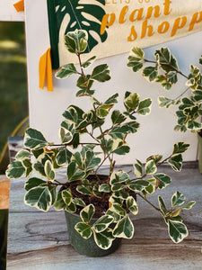 Variegated Ficus Triangularis - VintageChameleon