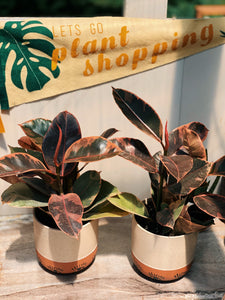 Eye See You Variegated Rubber Tree - VintageChameleon