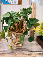 Load image into Gallery viewer, Rosie Philodendron - VintageChameleon