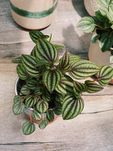 Load image into Gallery viewer, Lionel Piccolo Peperomia - VintageChameleon
