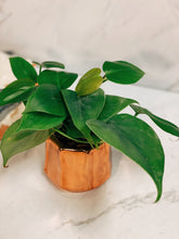 Load image into Gallery viewer, Mini Rosie Philodendron - VintageChameleon