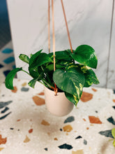 Load image into Gallery viewer, Hanging Pothos - VintageChameleon