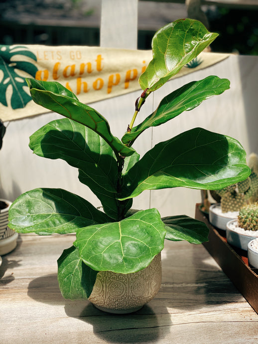 Pearlie Fiddle Leaf Fig - VintageChameleon