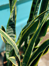 Load image into Gallery viewer, Giant Snake Plant - VintageChameleon