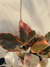Load image into Gallery viewer, Pink Variegated Rubber Tree - VintageChameleon