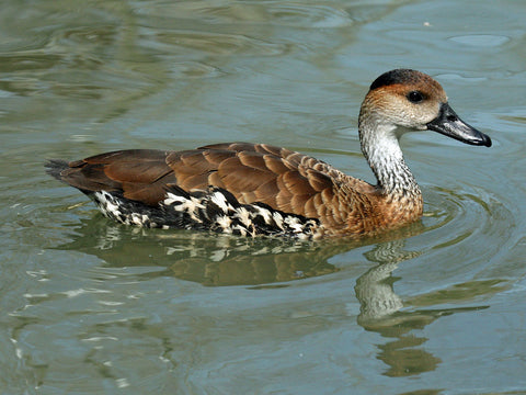 West Indian Whistling-Duck spotted in Virginia