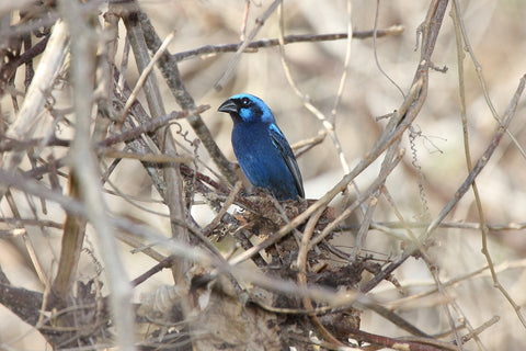 Blue Bunting spotted in Texas