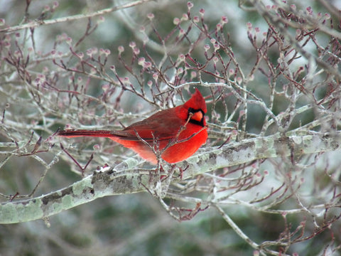 Cardinals can come in flocks to your backyard!