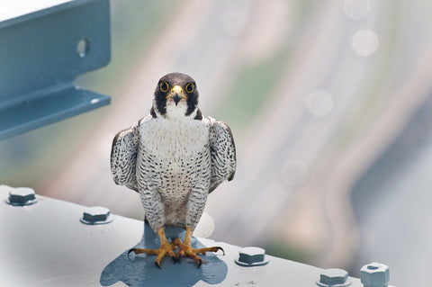 Why Peregrine Falcons Are Moving To New York City