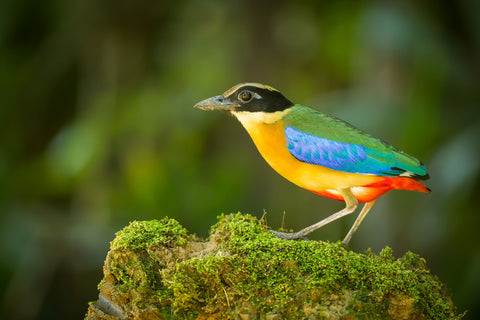 Photo of a Blue Winged Pitta Pitta in exquisite detail