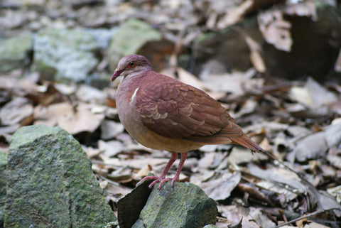 Ruddy Quail-Dove spotted in Florida and Texas