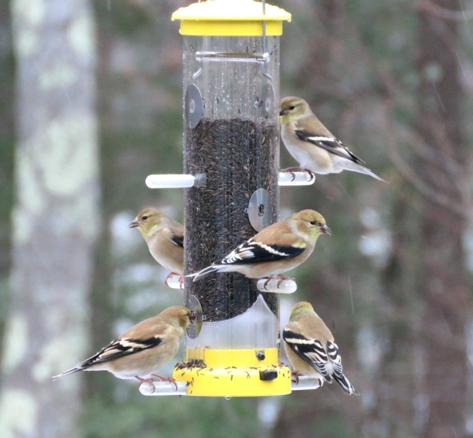 Goldfinches at a squirrel-proof Nyger feeder.