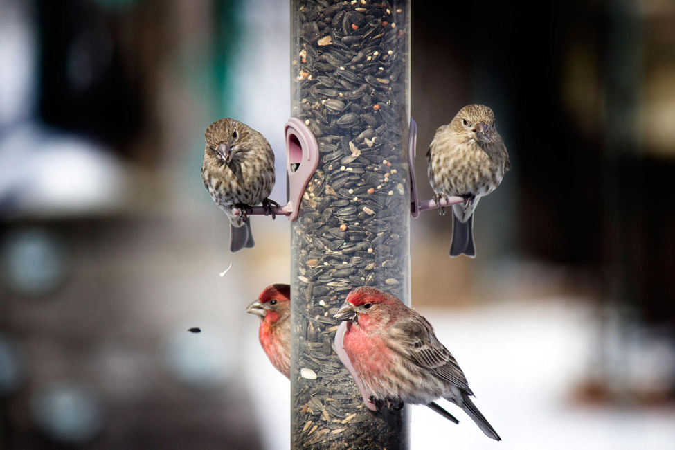House Finches at sunflower seed mix tube feeder.