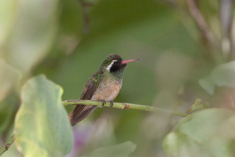 Xantus's Hummingbird spotted in California