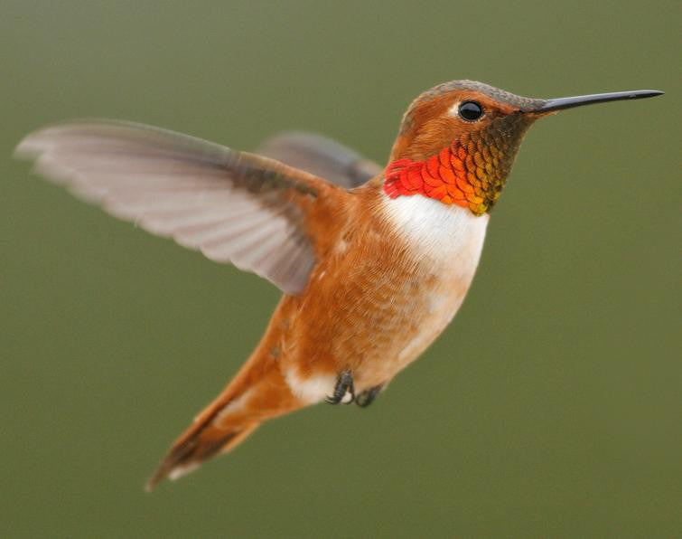 Capture the beauty of the male Rufous with HD binoculars!