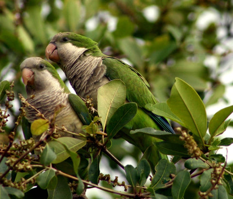 green and tan parrots in a tree