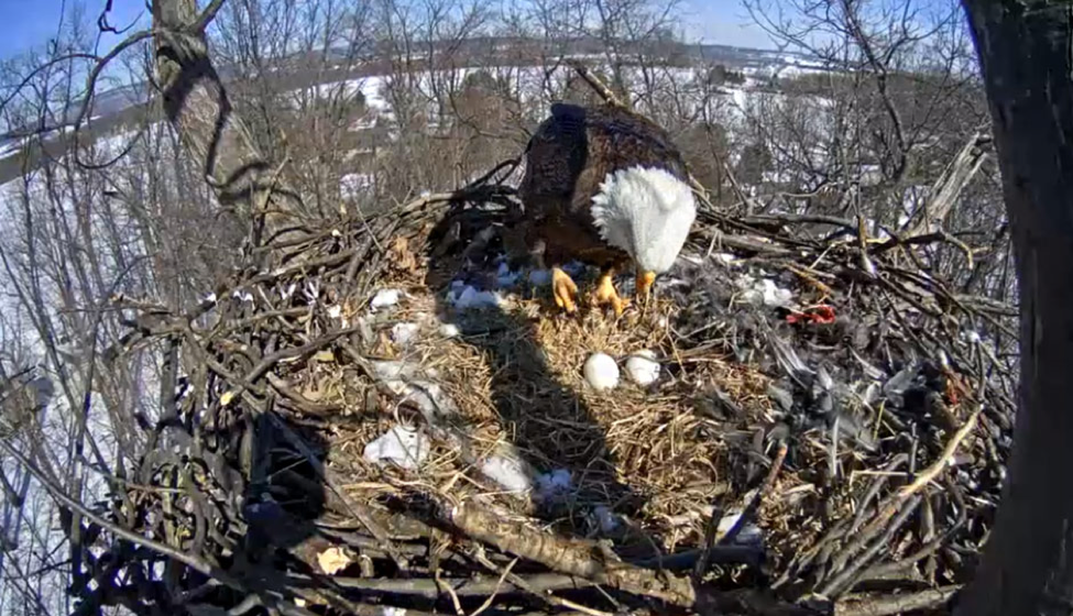 Bald Eagle in its nest