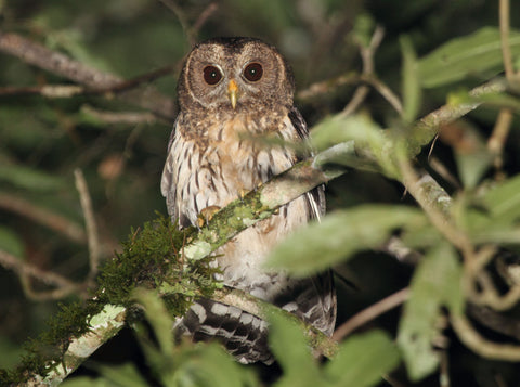 Mottled Owl spotted in Texas