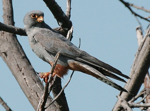 Red-footed Falcon spotted in Massachusetts