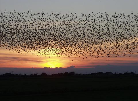 large bird migration seen during sunset