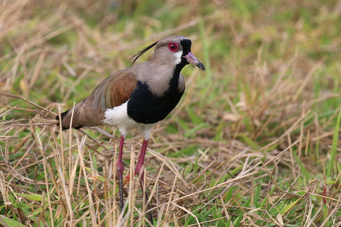 Southern Lapwing spotted in Florida and Maryland