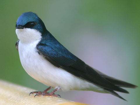 Bahama Swallow spotted in Florida