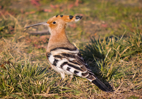 Eurasian Hoopoe spotted in Alaska