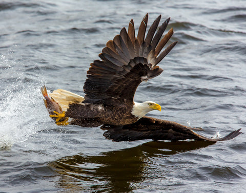 eagle swooping a fish out of the water