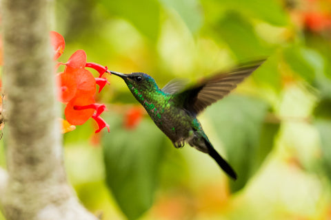 Green hummingbird feeding on a flower
