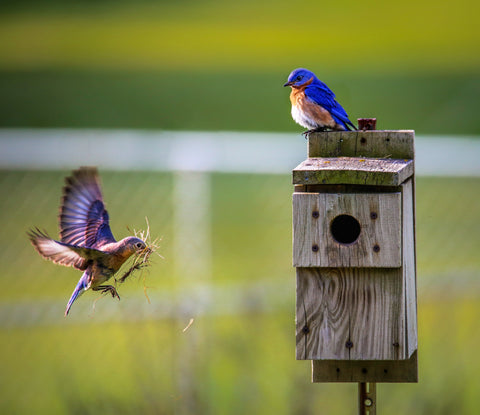 Two blue birds preparing to create a nest