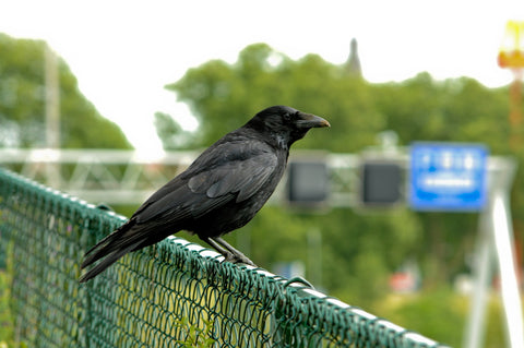 raven perched on a chain-link fence