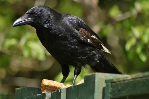 Crows are among the most intelligent animals on earth.
