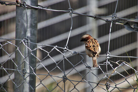 house finch perched on a wire fence