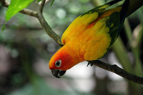 yellow, orange and green parrot in a tree