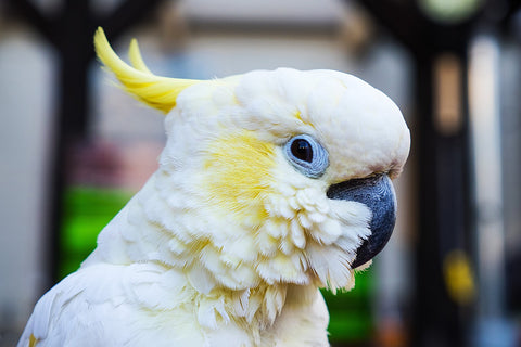 Cockatoos have extreme intelligence.