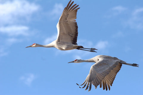 Sandhill Cranes at Bosque del Apache National Wildlife Refuge in New Mexico