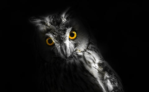 black and white owl with golden eyes
