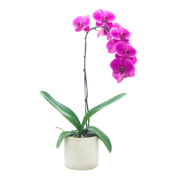 Phalaenopsis Purple