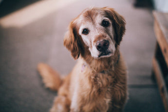 Tips for Senior Dog Care